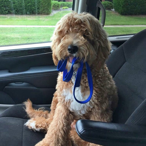 Dog from an Elkhart, Indiana Goldendoodle breeder ready to take a trip.